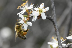 Abeille au printemps